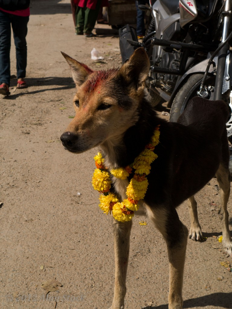 During Tihar dogs are blessed by the locals and some get tikkas and garlands.