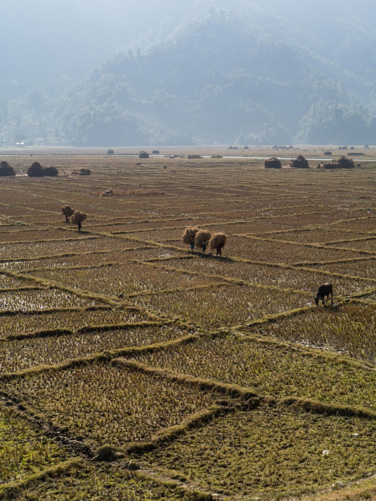 Farmers carry their rice harvest over the paddies