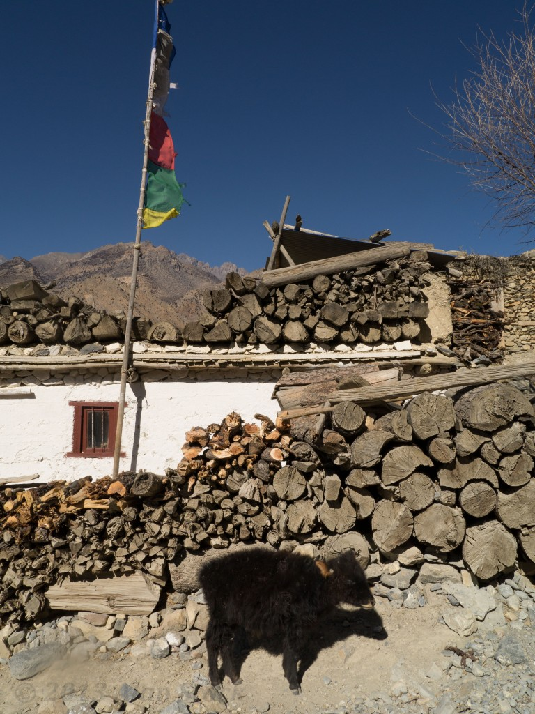A scraggly baby yak pummeled by the wind