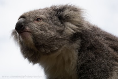 I repositioned myself with the sun behind me and zoomed into the koala's face to get rid of all the clutter. See what a big difference it has made!