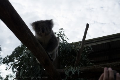 "I was shooting into the sun when I took this photo of a koala in a wildlife sanctuary. The sky is ""blown out"" as we say in photography, and the subject is dark."